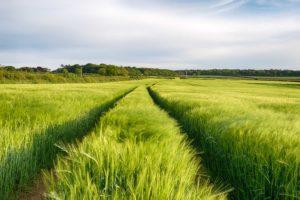 A barley filed in the Cornish countryside near Bodmin